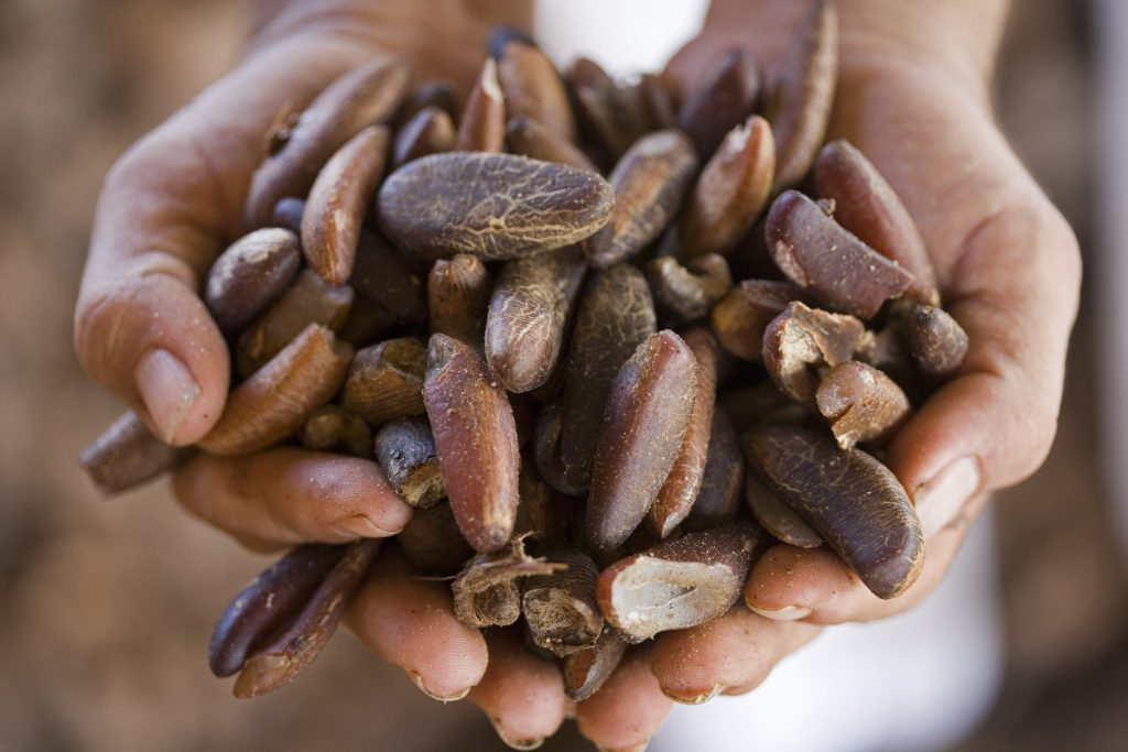 Two cupped hands are holding dozens of babassu nuts.