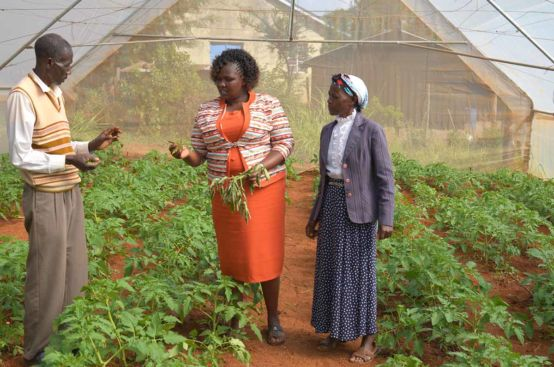 Farmer Stella inspects a plant in the greenhouse owned by the farming co-op supported by the PFA project in Kenya. Photo: Allan Gichigi/ActionAid