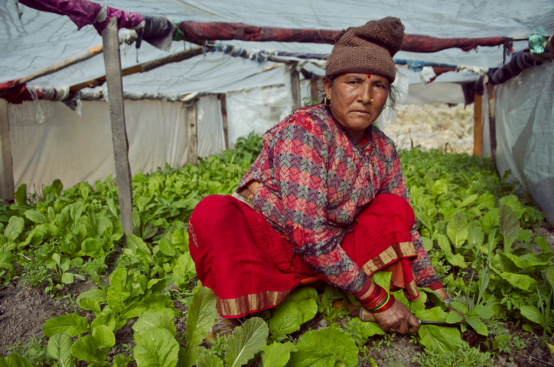A woman kneels in a polytunnel among rows of green vegetables.